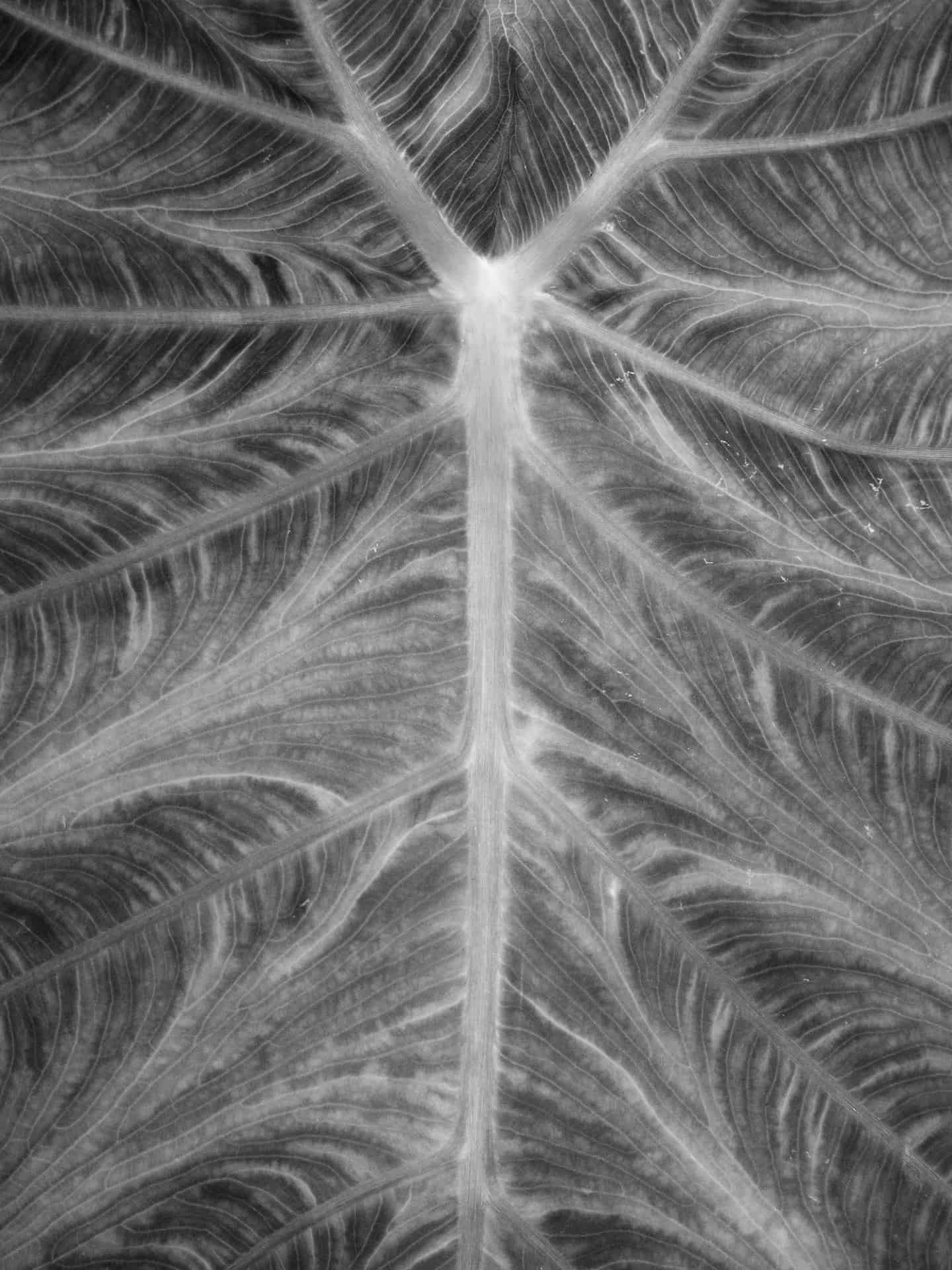 Close up of the veins in elephant ears.