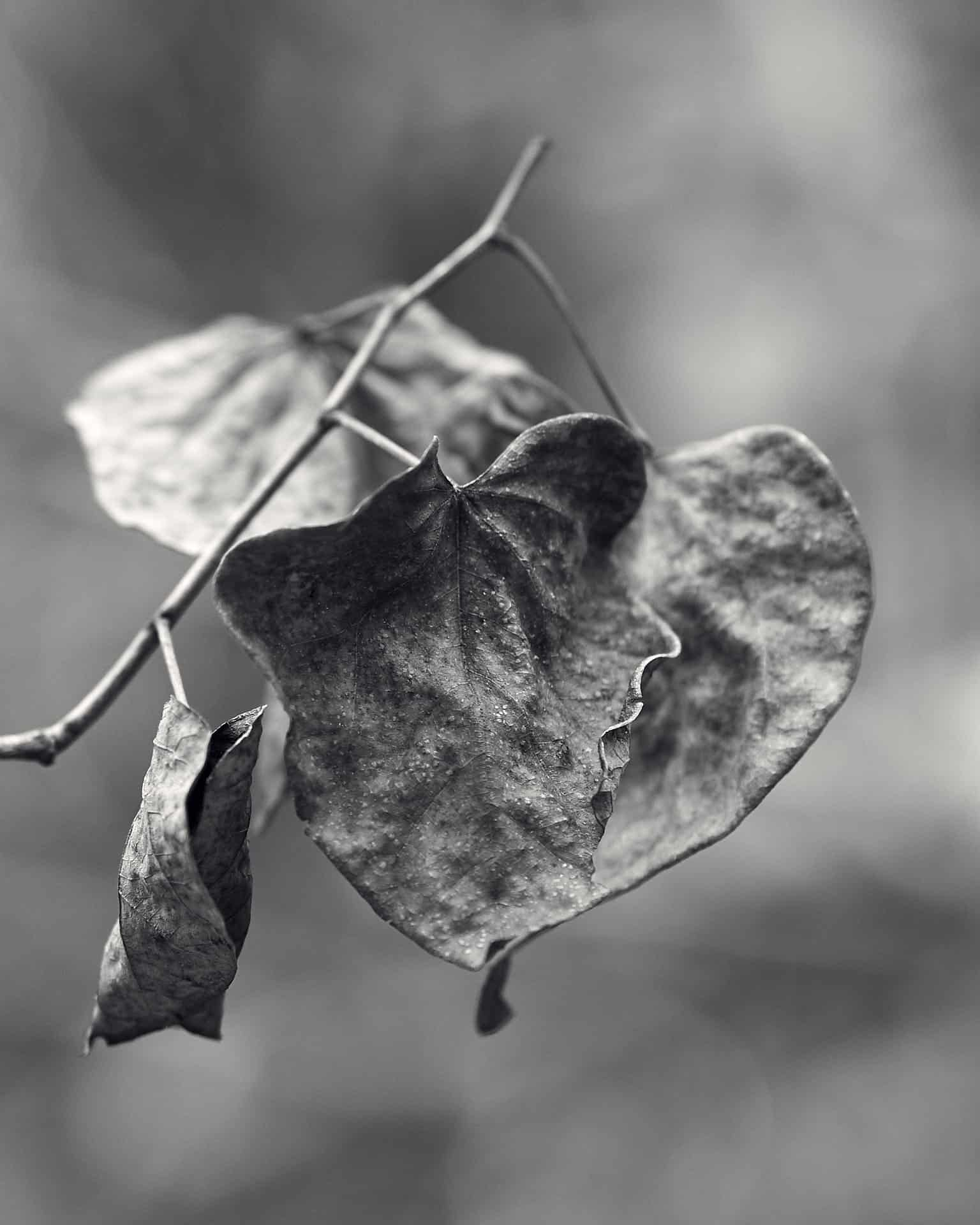 Leaves photographed in black and white.