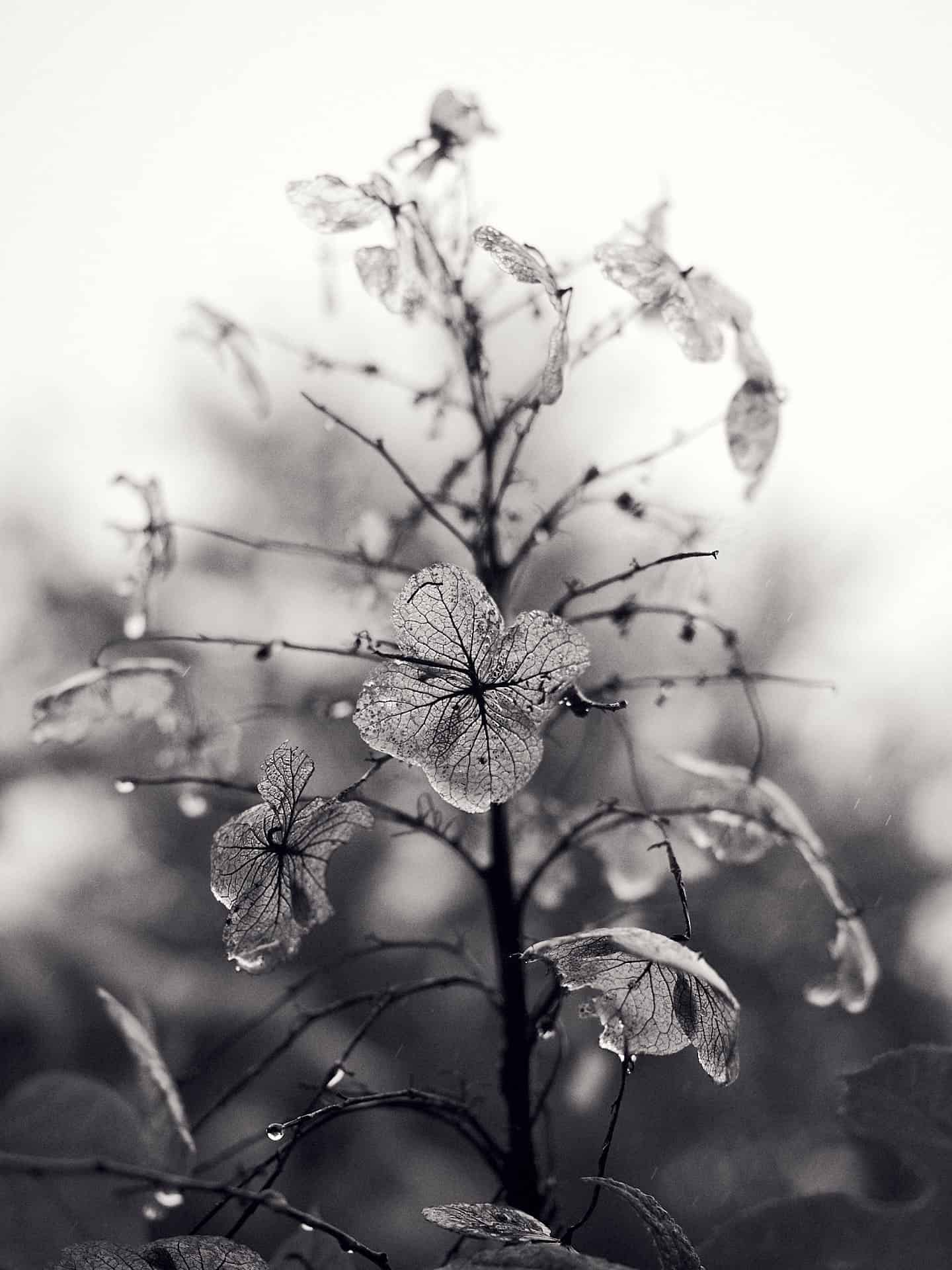 The last oak leaf hydrangea bloom during a winter rain storm