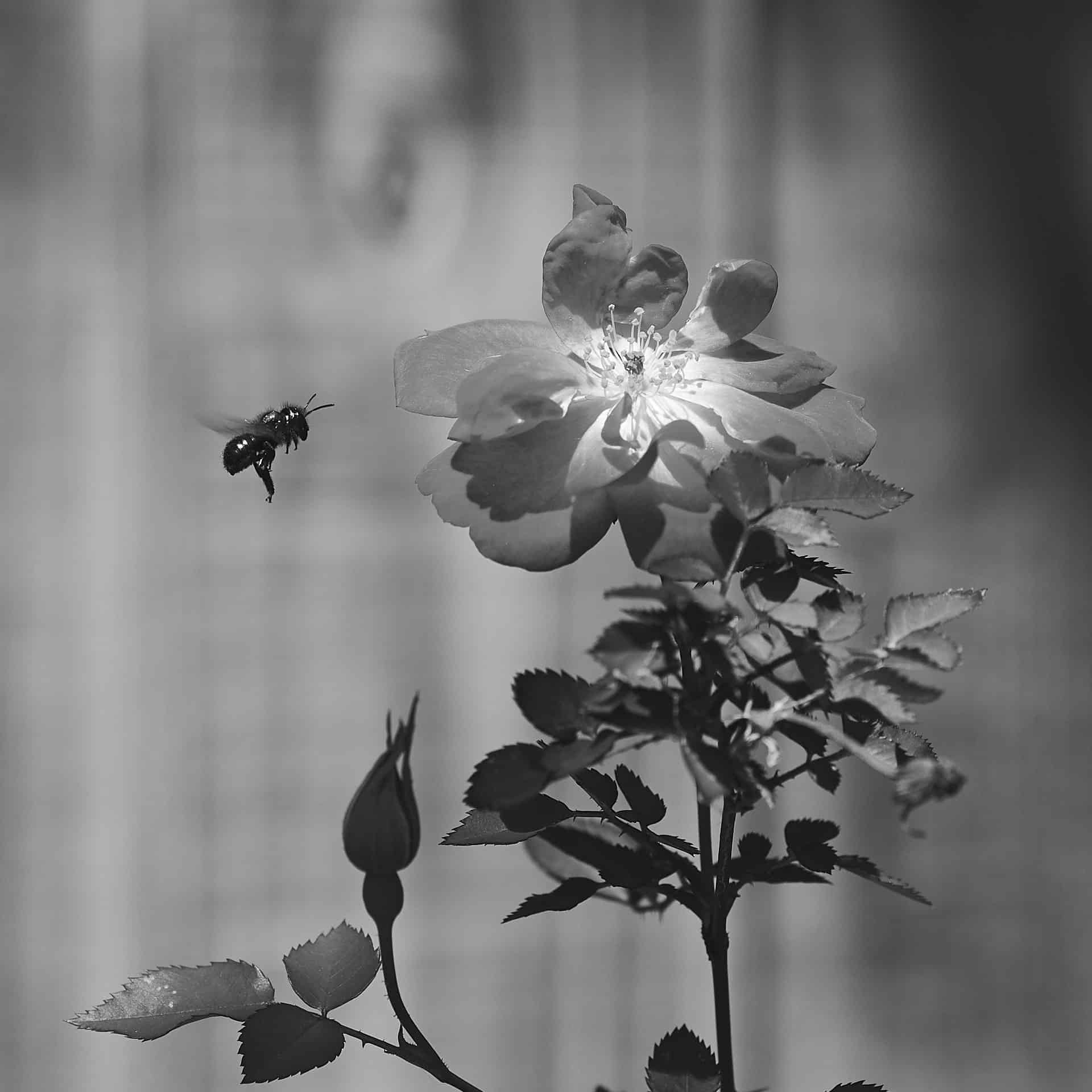 a bee buzzing around an open rose bloom